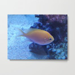 Damsel fish Metal Print