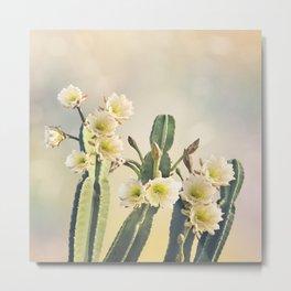 San Pedro Cactus with Beautiful White Flowers Metal Print