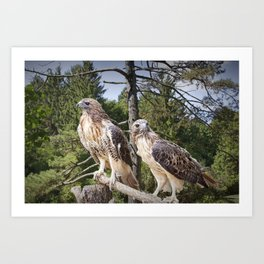 Pair of Red-tail Hawks in West Michigan Woodland Art Print