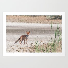 Young fox walking in the plain realizes to be observed Art Print