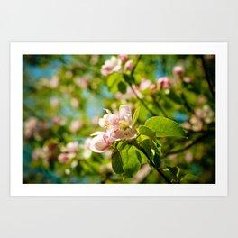 Apple Blossoms (1) Art Print