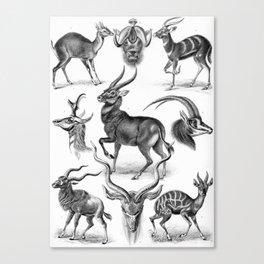 Ernst Haeckel's Antilopinae Canvas Print