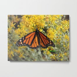 Monarch on Rubber Rabbitbrush Metal Print