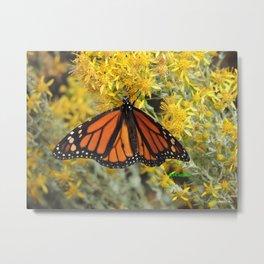 Monarch on Rubber Rabbitbrush Metal Print