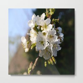 Sweet Cherry Blossoms Metal Print