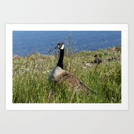 Canada Goose in Wild Grass Art Print