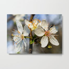 Flowering Plum Metal Print