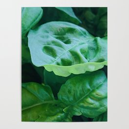 Green Basil Poster