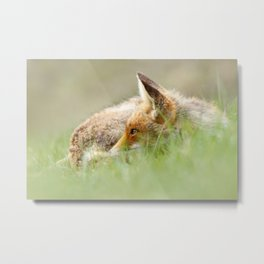 Sleeping Beauty .:. Red Fox relaxing in the Grass Metal Print