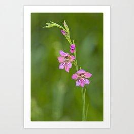 Pink wildflower Gladiolus illyricus Art Print