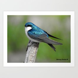 Male Tree Swallow II Art Print