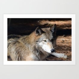The Eyes of a Wolf Art Print