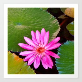 Pink Waterlily Flower Photo 6 Art Print