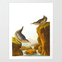 Columbian Water Ouzel James Audubon Scientific Illustration Art Print