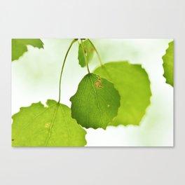 Aspen leaves Canvas Print