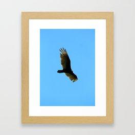 A Turkey Vulture In Tobermory Framed Art Print