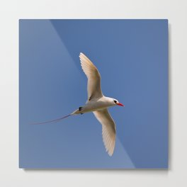 Red-tailed Tropicbird Metal Print
