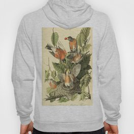 American robin Hoody