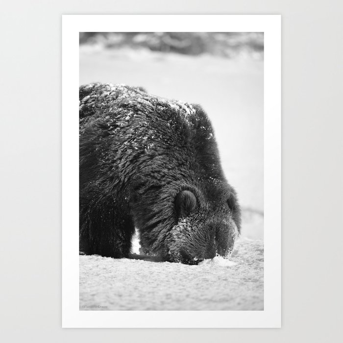 Alaskan Grizzly Bear in Snow, B & W - 2 Art Print