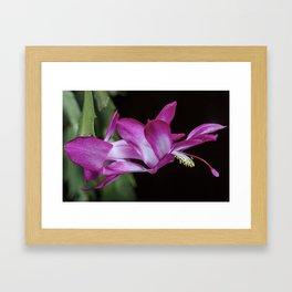 Christmas Cactus flower Framed Art Print