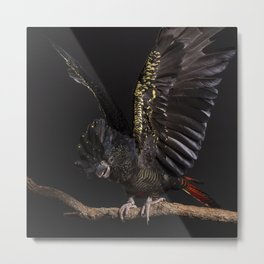 Female Red-tailed Black-cockatoo on perch with wings out Metal Print