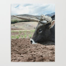 Close up view of an ox and a fresh plowed land in Urubamba Valley, Peru Poster