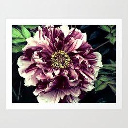 Peony Flower A103 Art Print