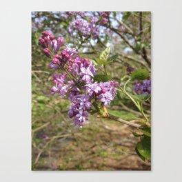 Lilac blossom Canvas Print