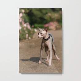Adorable hairless cat, sphynx, staying at a park, roses in background Metal Print