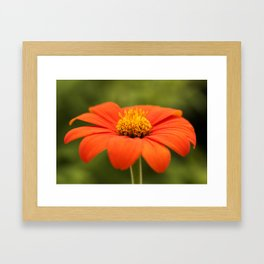 Mexican Sunflower in Bloom Framed Art Print