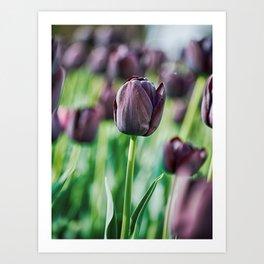 Black Tulip Art Print