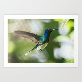 Sip - Jacobin Hummingbird Art Print