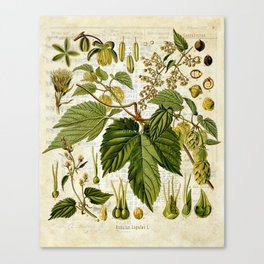 Common Hop Botanical Print on Vintage almanac collage Canvas Print
