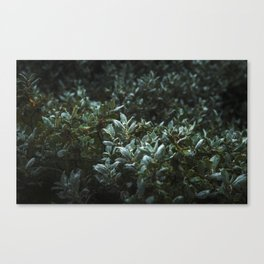 Woolly Willow Canvas Print