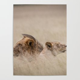 Male & female Lion in the grass Poster