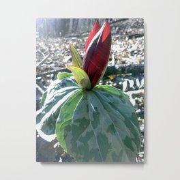 Toadshade Trillium, Spring Wildflower Print, Nature Art, Botanical Print Metal Print