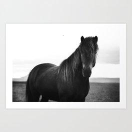 Icelandic horse Art Print