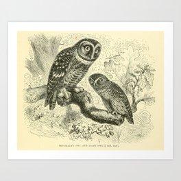 Tengmalm's owl and Pigmy owl (1893) Art Print