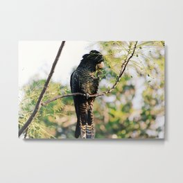 Red-Tailed Black Cockatoo in the Swan Valley Metal Print
