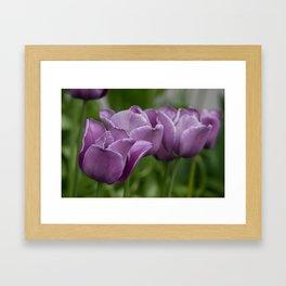 Purple tulips in a row Framed Art Print