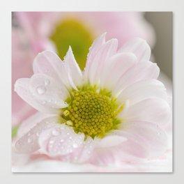 One Chrysanthemum flower Canvas Print