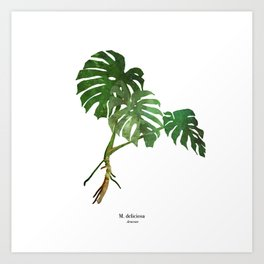 swiss cheese plant Art Print