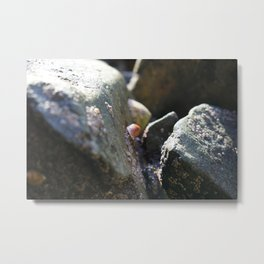 Sea Snails Grazing on Ocean Weathered Rocks with Barnacles Metal Print