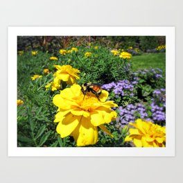 Close Up of a Bumble Bee Pollinating a Yellow Marigold ~ Insect Photography  Art Print