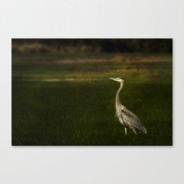 Great Blue Heron against a Dark Background Canvas Print