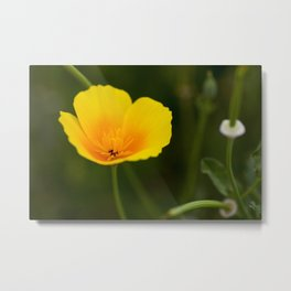 Yellow California Poppy - Original Botanical Nature Photography - Flora Art  Metal Print