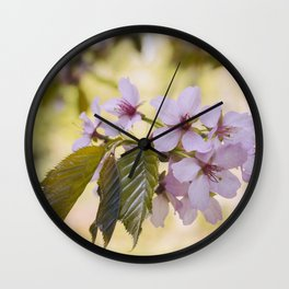 Flowers. New Spring Sargent's Cherry tree leaves and blossom (Prunus sargentii). Norfolk, UK Wall Clock