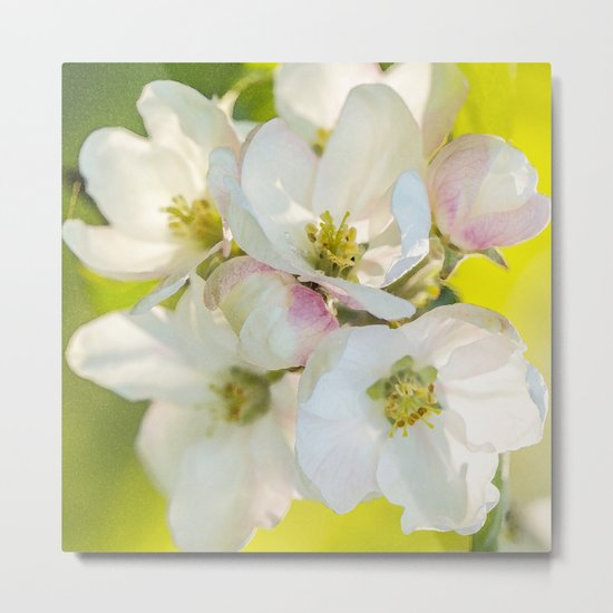 Close-up of Apple tree flowers on a vivid green background - Summer atmosphere Metal Print