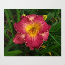 Sis Boom Bah daylily! A world of rose and gold Canvas Print