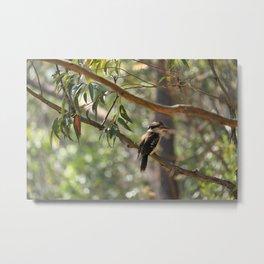 Kookaburra sitting in a gum tree Metal Print